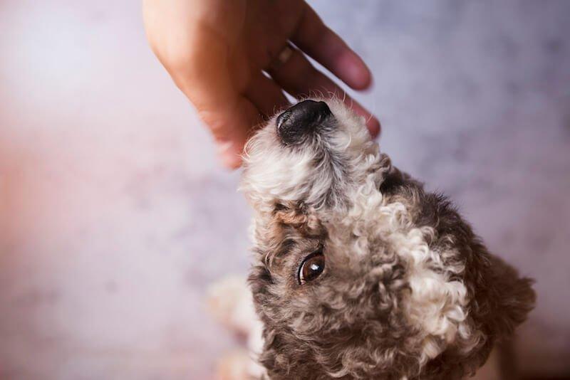 Les calculs urinaires dans les reins du chien sont un problème fréquent