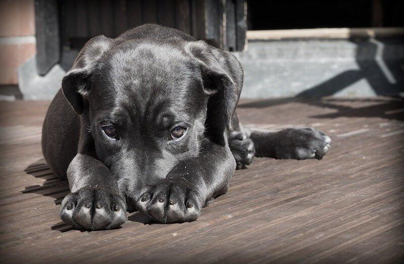 L'origine de l'infection urinaire du chien peut être inflammatoire ou infectieuse