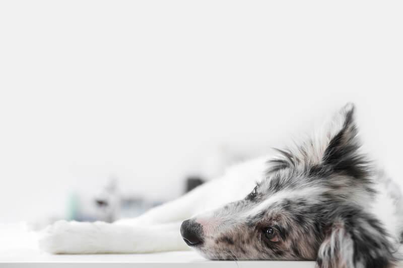 Sachez reconnaître les symptômes de la cystite ou de l'infection urinaire chez le chien
