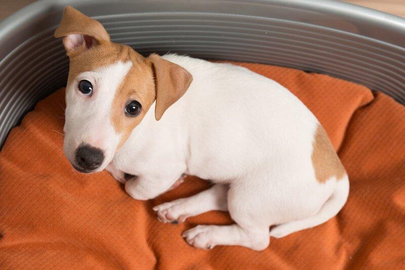 La Giardiose peut être à l'origine du sang dans les selles de votre chien
