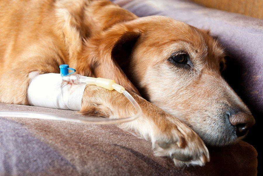 Le diagnostic de l'insuffisance rénale du chien ne pourra être posé que par un vétérinaire, avec les analyses nécessaires