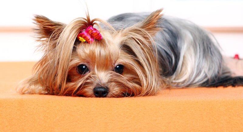 Le sang dans la diarrhée du chien peut être lié à la Giardiose, mais aussi à une alimentation inadaptée