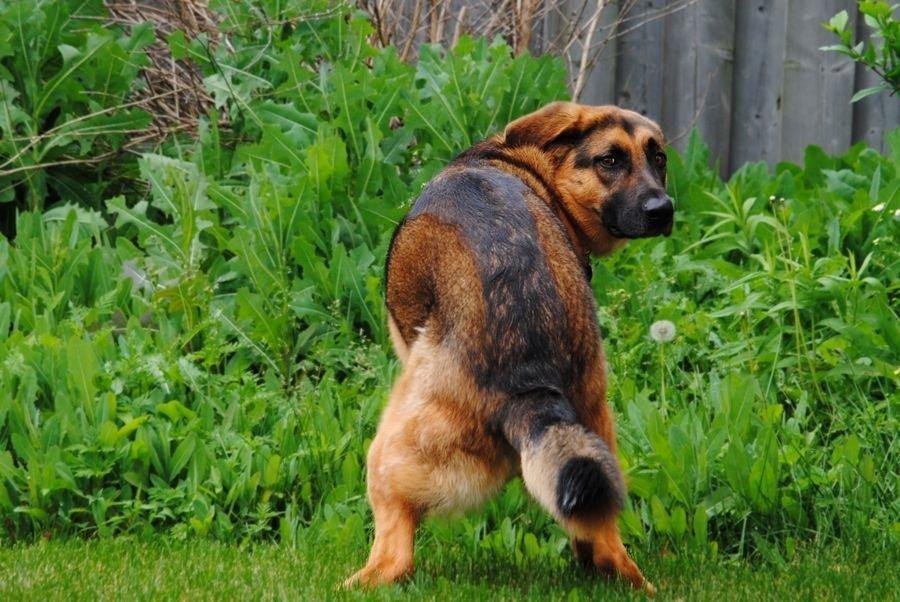 Les selles molles et la diarrhée jaune chez le chien sont souvent causées par la Coccidiose