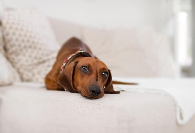 Quels traitements naturels ou médicamenteux contre le chien infesté de vers ?