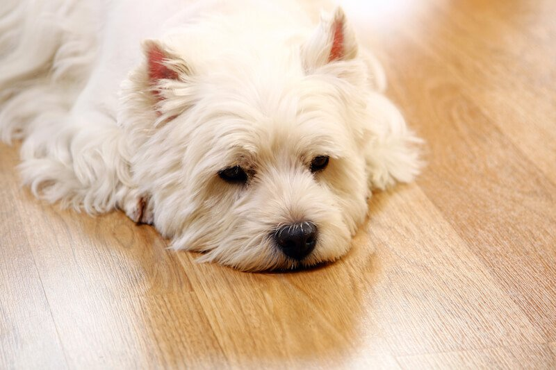 La Giardiose est souvent à l'origine des substances glaireuses dans les selles du chien