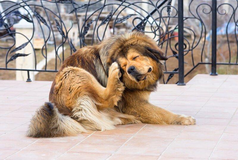 Les légumes sont bien souvent à l'origine des démangeaisons du chien qui se gratte sans puces