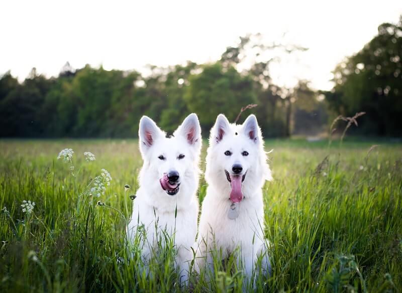 Certains chiens rentrent dans le cadre des contre-indications de l'imodium contre la diarrhée du chien