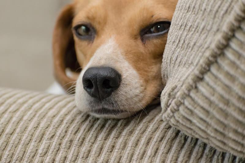 Les symptômes de la gastro entérite sont simples : mon chien vomit et a la diarrhée, et parfois de la fièvre