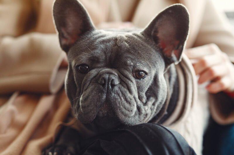 La désensibilisation n'a que peu d'effets sur l'allergie alimentaire du chien