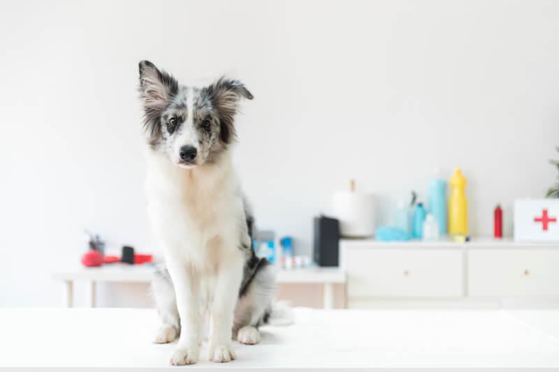 Contre la diarrhée du chien, le traitement idéal n'est pas forcément les médicaments, mais une alimentation adaptée