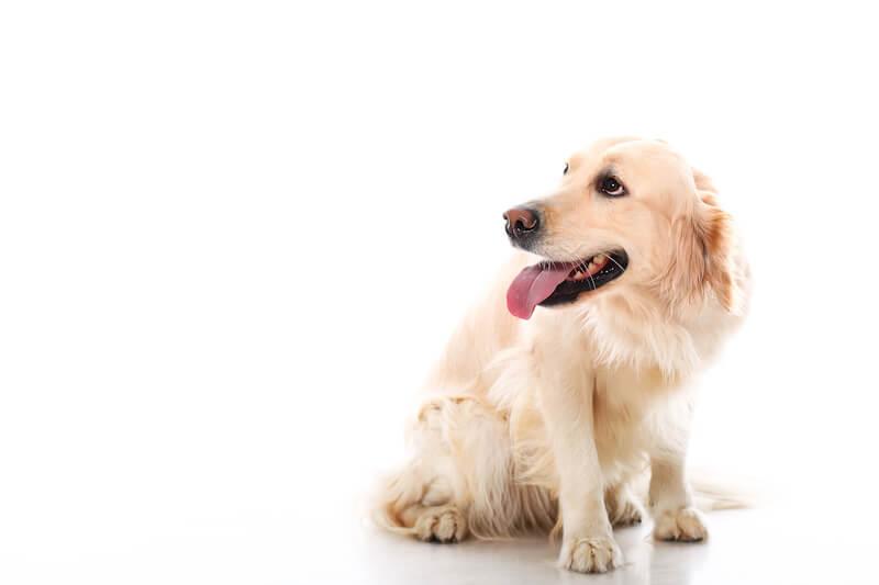 Les anti-inflammatoires pour chien non-naturels sont à éviter autant que possible