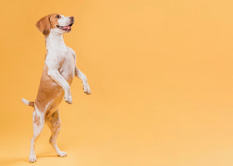 Contre la dermatite du chien, les huiles essentielles sont une solution superficielle et ponctuelle