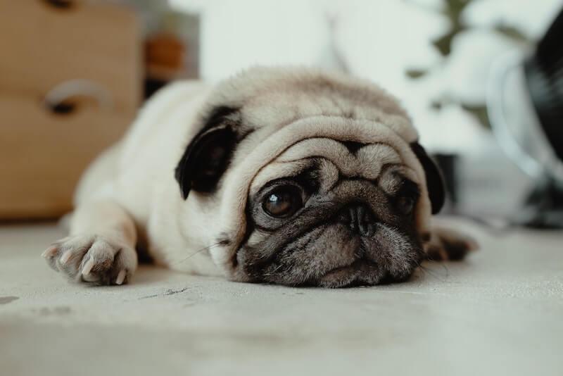 La dermatite séborrhéique du chien trouve ses origines dans l'alimentation, la plupart du temps
