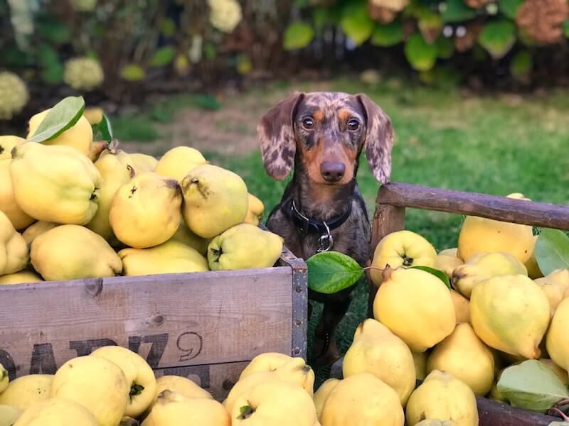 Les légumes sont souvent à l'origine de ce que l'on détecte en premier comme étant une allergie aux puces du chien