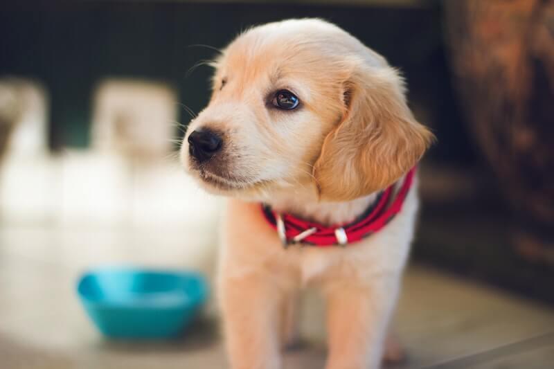 Un traitement contre la laxité ligamentaire du chien est bien possible