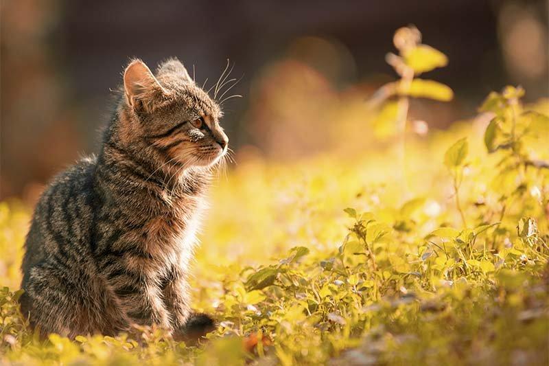 guérison de l'insuffisance rénale chez le chat en phase terminale