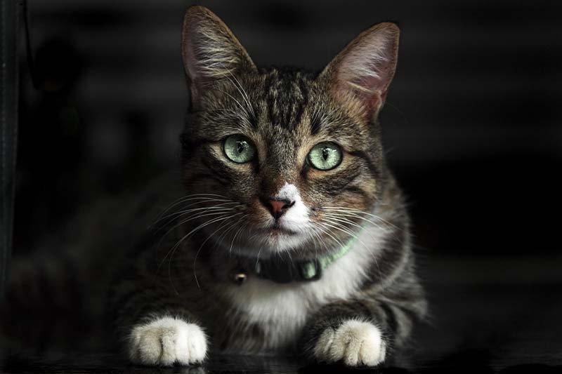 guérison de l'insuffisance rénale en phase terminale chez le chat