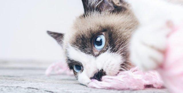 Votre chat a la diarrhée jaune : quel traitement ?