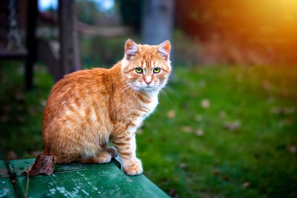 Le chat qui a une diarrhée jaune a probablement la Coccidiose, une parasitose très commune