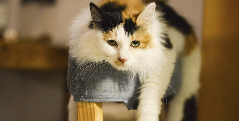 Giardiose du chat