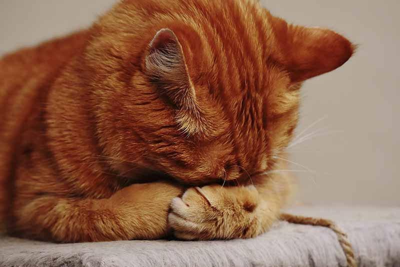 insuffisance rénale du chat espérance de vie