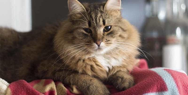 Peut-on donner du smecta à son chat ? Diarrhée et selles molles