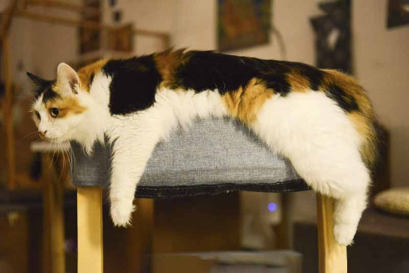 soigner la giardiose du chat