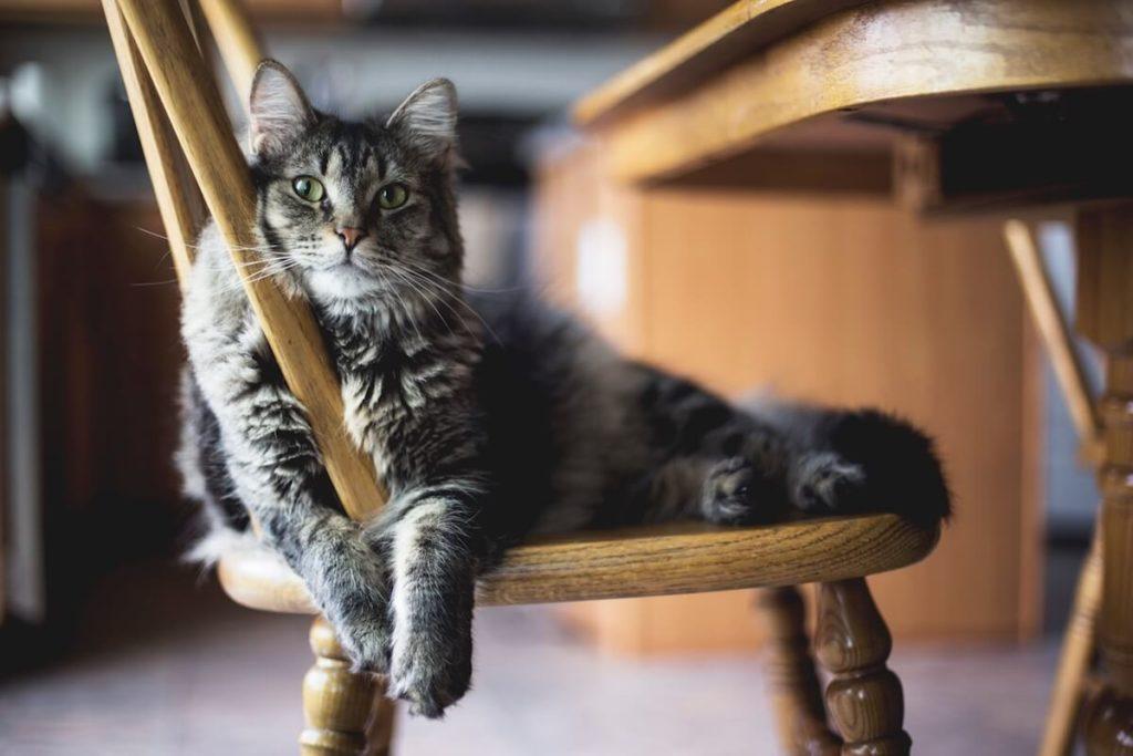 Le Kaopectate pour chat ne suffit pas à arrêter les diarrhées du chat : pensez à lui trouver le bon traitement, et une alimentation adaptée à ses besoins