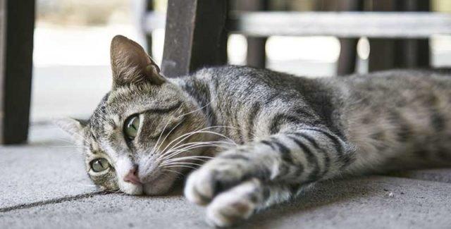 Selles molles malodorante chez le chat