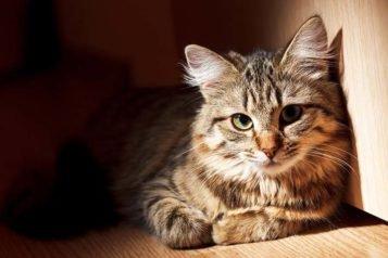 Comment administrer l'Advocate au chat ?