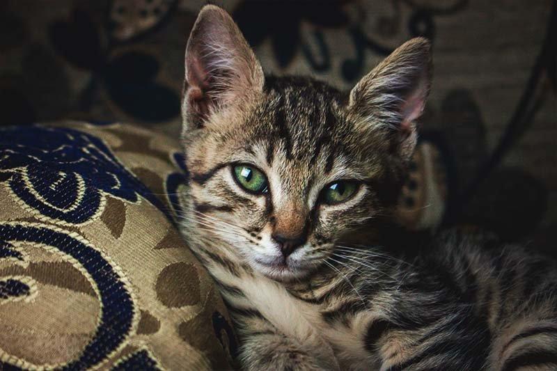 Qu'est-ce qu'un ver platchez le chat ?
