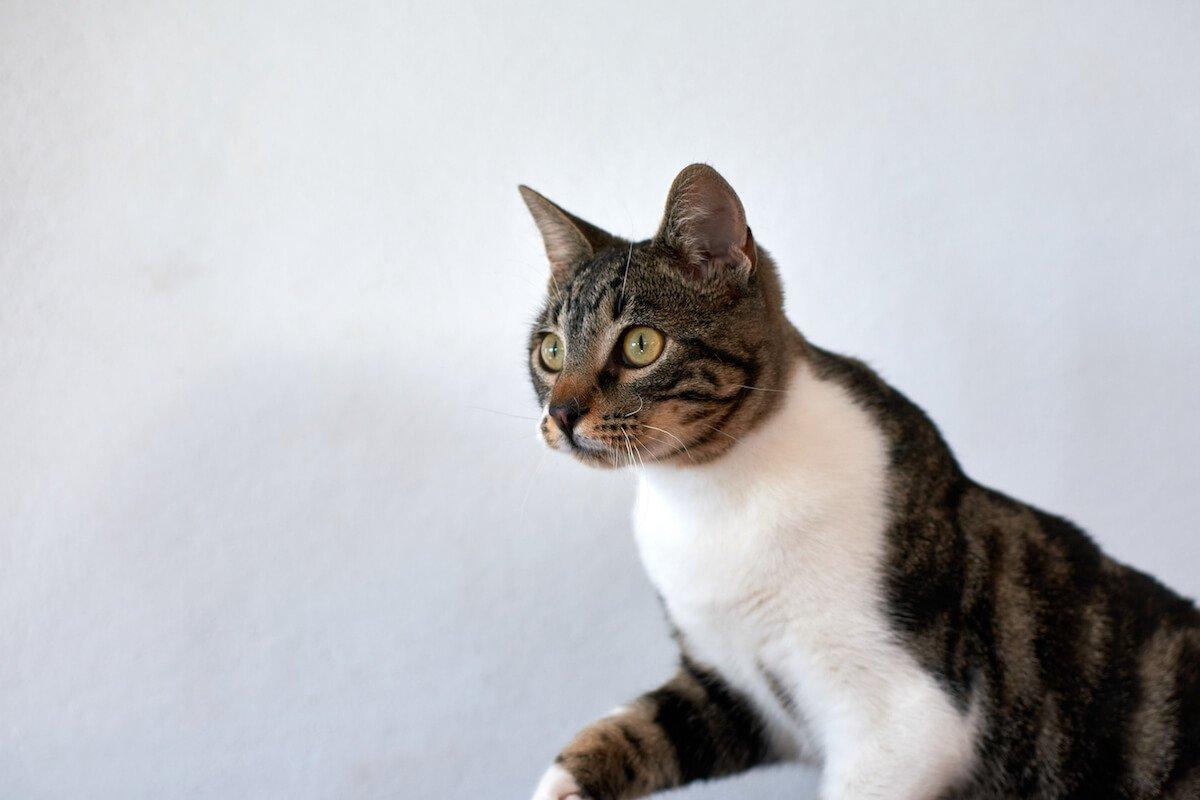Apprenez à repérer les vers intestinaux du chat et à les soigner