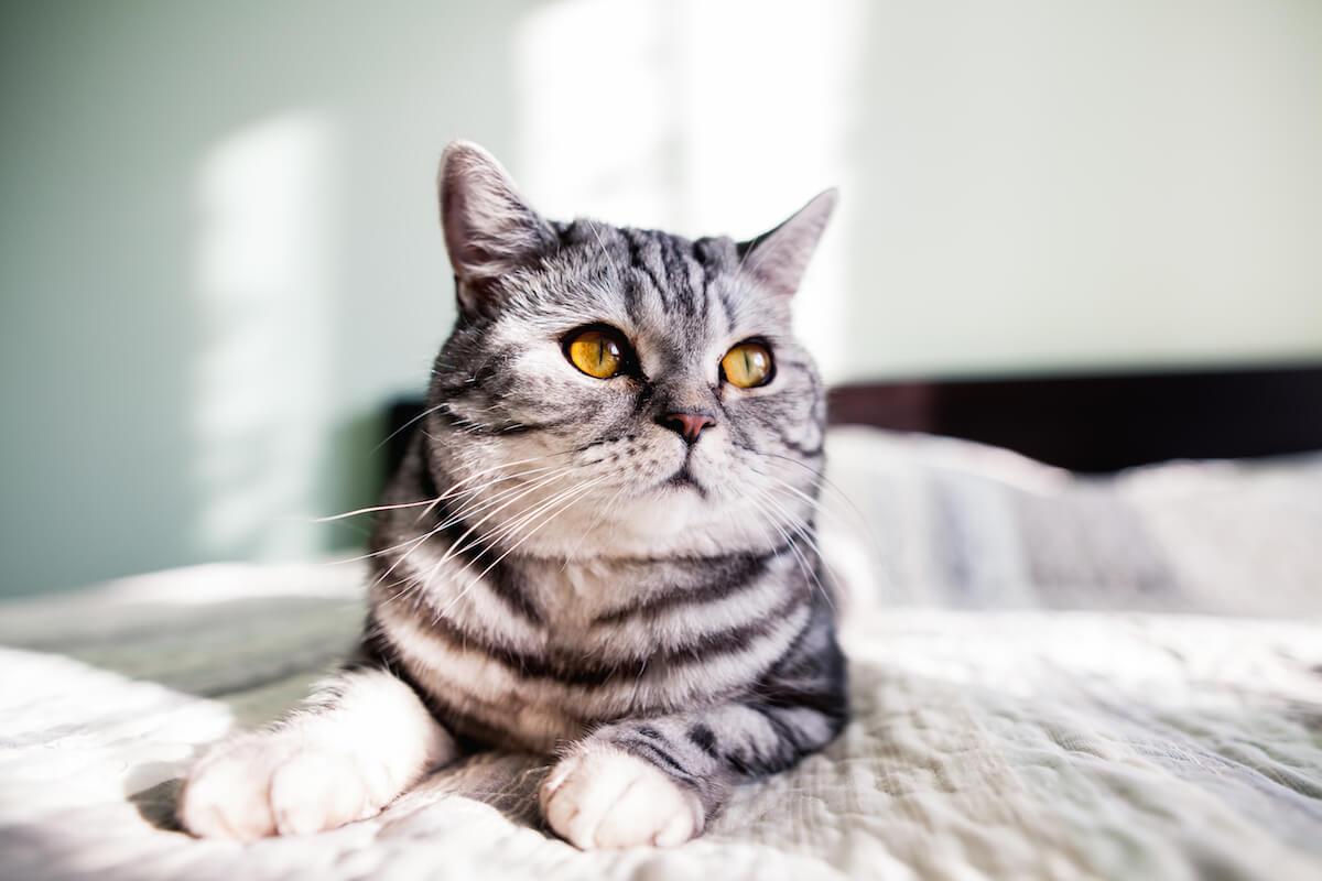 Quand et comment administrer l'Ipakitine pour chat ?