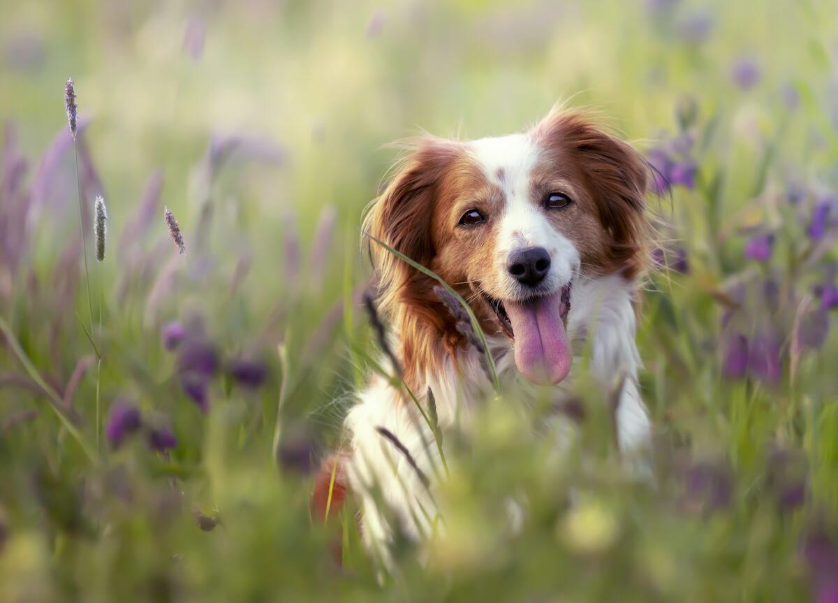 Comment administrer le vermifuge Lopatol pour chien